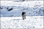 Gray Wolf in Winter, Lamar Valley, Yellowstone National Park, WY