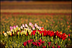 Clump of Colorful Tulips, Wooden Shoe Bulb Company, Woodburn, OR