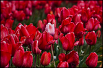 Pink Tulip in Field of Red, Wooden Shoe Bulb Company, Woodburn, OR