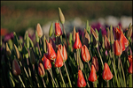 Pink Tulip Patch, Wooden shoe Bulb Company, Woodburn, OR
