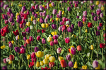 Multi-Colored Tulip Field, Wooden Shoe Bulb Company, Woodburn, OR