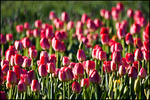 Field of Pink Tulips, Wooden Shoe Bulb Company, Woodburn, OR