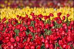 Red and Yellow Tulip Layers, Wooden Shoe Bulb Company, Woodburn, OR