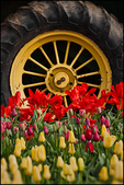 Tulips and Tractor Wheel and Tire, Wooden Shoe Bulb Co., Woodburn, OR
