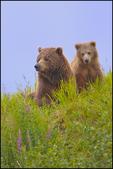 Alaska Brown Bear Mom and Cub, McNeil River State Game Sanctuary, AK