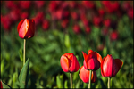 Red Tulips, Wooden Shoe Bulb Company, Woodburn, OR