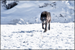 Gray Wolf, Lamar Valley, Yellowstone National Park, WY