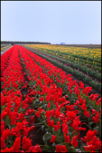 Rows of Red Tulips, Wooden Shoe Bulb Company, Woodburn, OR