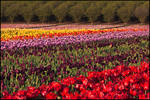 Diagonal Rows of Tulips, Wooden Shoe Bulb Company, Woodburn, OR