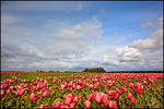 Pink Tulip Field, Blue Sky, Wooden Shoe Bulb Company, Woodburn, OR