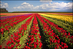 Converging Rows of Tulips, Wooden Shoe Bulb Company, Woodburn, OR