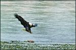 Landing Bald Eagle, Alaska Chilkat Bald Eagle Preserve, AK