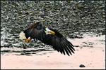 Bald Eagle Lift Off, Alaska Chilkat Bald Eagle Preserve, Haines, AK