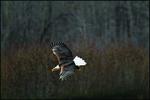 Descending Bald Eagle, Alaska Chilkat Bald Eagle Preserve, Haines, AK