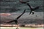 Clash of Eagles, Alaska Chikat Bald Eagle Preserve, Haines, AK
