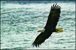 Classic Bald Eagle in Flight, Alaska Chilkat Bald Eagle Preserve, Haines, AK