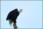 Eagle Vocalizing, Alaska Chilkat Bald Eagle Preserve, Haines, AK