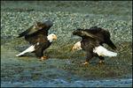 Eagles Facing Off, Alaska Chilkat Bald Eagle Preserve, Haines, AK