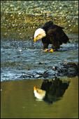 Bald Eagle with Reflection, Alaska Chilkat Bald Eagle Preserve, Haines, AK