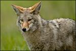 Coyote, Ridgefield National Wildlife Refuge, WA