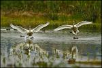 Tundra Swan Landing, Ridgefield National Wildlife Refuge, WA