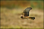 Northern Harrier in Flight, Ridgefield National Wildlife Refuge, WA