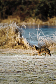 Coyote on the Hunt, Ridgefield National Wildlife Refuge, WA