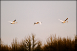 Early Morning Flight, Tundra Swans, Ridgefield National Wildlife Refuge, WA