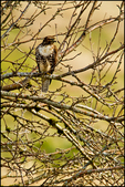 Redtail Hawk Among Tree Branches, Julia Butler Hansen National Wildlife Refuge, WA