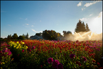 Dahlia Fields with Backlit Sprinkler, Swan Island Dahlias, Canby, OR