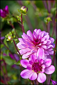 Lavender Colored Dahlias, Swan Island Dahlias, Canby, OR