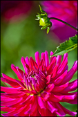 Single Magenta Red Dahlia, Swan Island Dahlias, Canby, OR