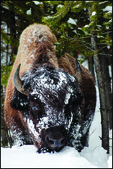Bull Bison in Snow, Yellowstone National Park, Wyoming, USA