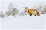 Red Fox, Hunting in Snow, Yellowstone National Park, Wyoming, USA