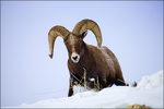 Bighorn Sheep Ram in Snow, Yellowstone National Park, Wyoming, USA