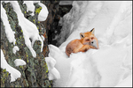 Red Fox, Yellowstone National Park, Wyoming, USA
