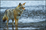 Coyote, Winter, Yellowstone National Park, Wyoming, USA