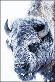 Bison Bull in Snow, Yellowstone National Park, Wyoming, USA