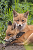 Red Fox Kits, McNeil River Sanctuary and Refuge, AK