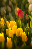 Red Tulip Among Yellow, Wooden Shoe Tulips, Woodbury, OR