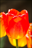 Bright Orange Tulip, Wooden Shoe Tulips, Woodburn, OR