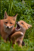 Playful Red Fox Kits, McNeil River State Game Sanctuary and Refuge, AK