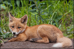 Red Fox Kit, McNeil River State Gams Sanctuary and Refuge, AK