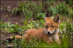 Red Fox Kit, McNeil River State Game Sanctuary and Refuge, AK