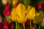 Yellow and Red Tulips, Wooden Shoe Tulip Farm, Woodburn, OR