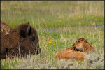Resting American Bison Cow and Young Calf, Yellowstone National Park, WY