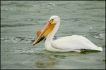 American White Pelican, Breeding Plumage, Snake River, Grand Teton National Park