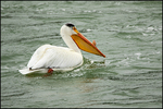 American White Pelican, Breeding Plumage, Snake River, Grand Teton National Park, WY