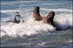 Male Elephant Seals Fighting in the Surf, San Simeon, CA