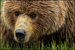 Brown Bear, L. Clark National Park, AK